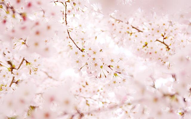 桜の写真を初心者でもキレイに撮るテクニックとコツ