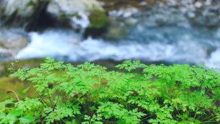川沿いの芽
