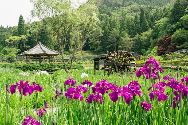菖蒲のある風景8