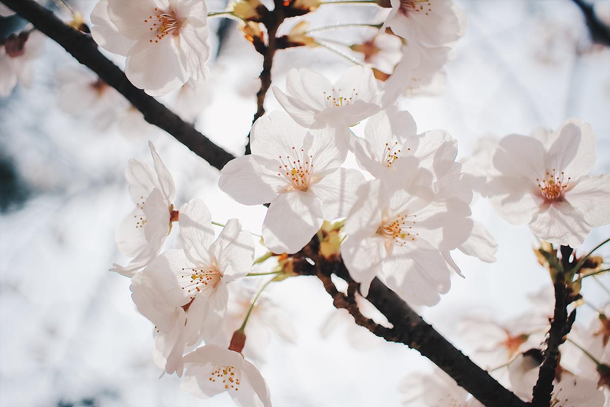 夙川の桜アップ1