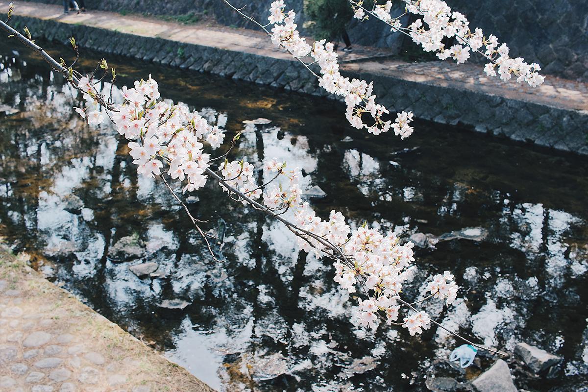 川の上の桜