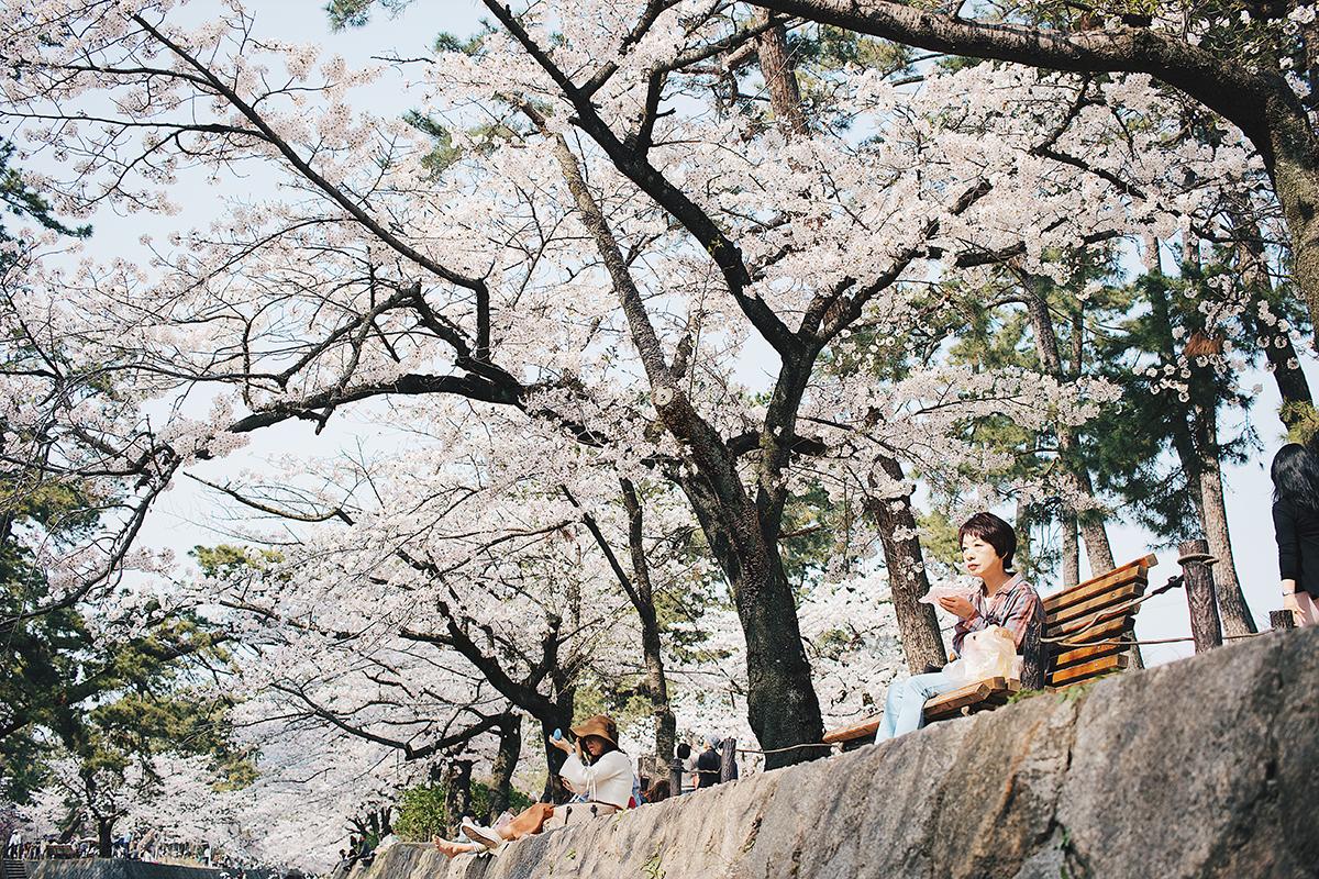 夙川の桜6