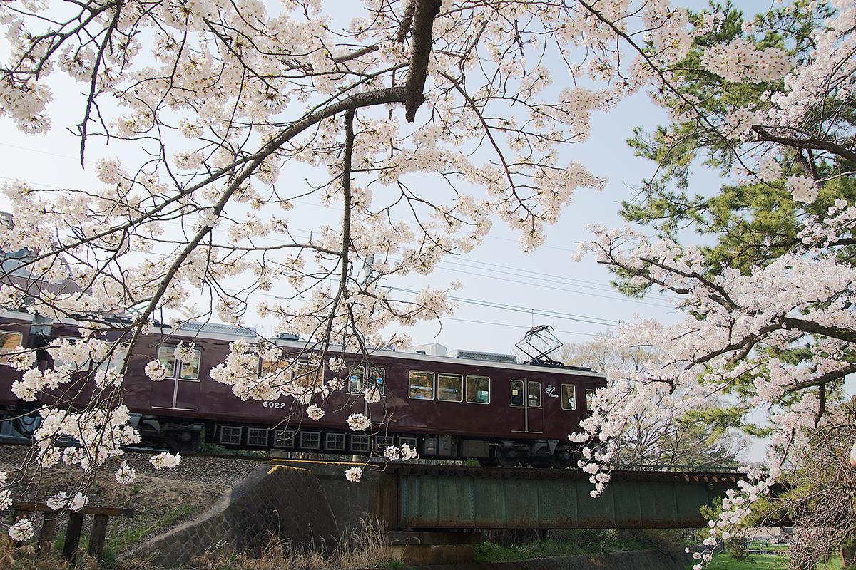 夙川の桜と阪急電車2