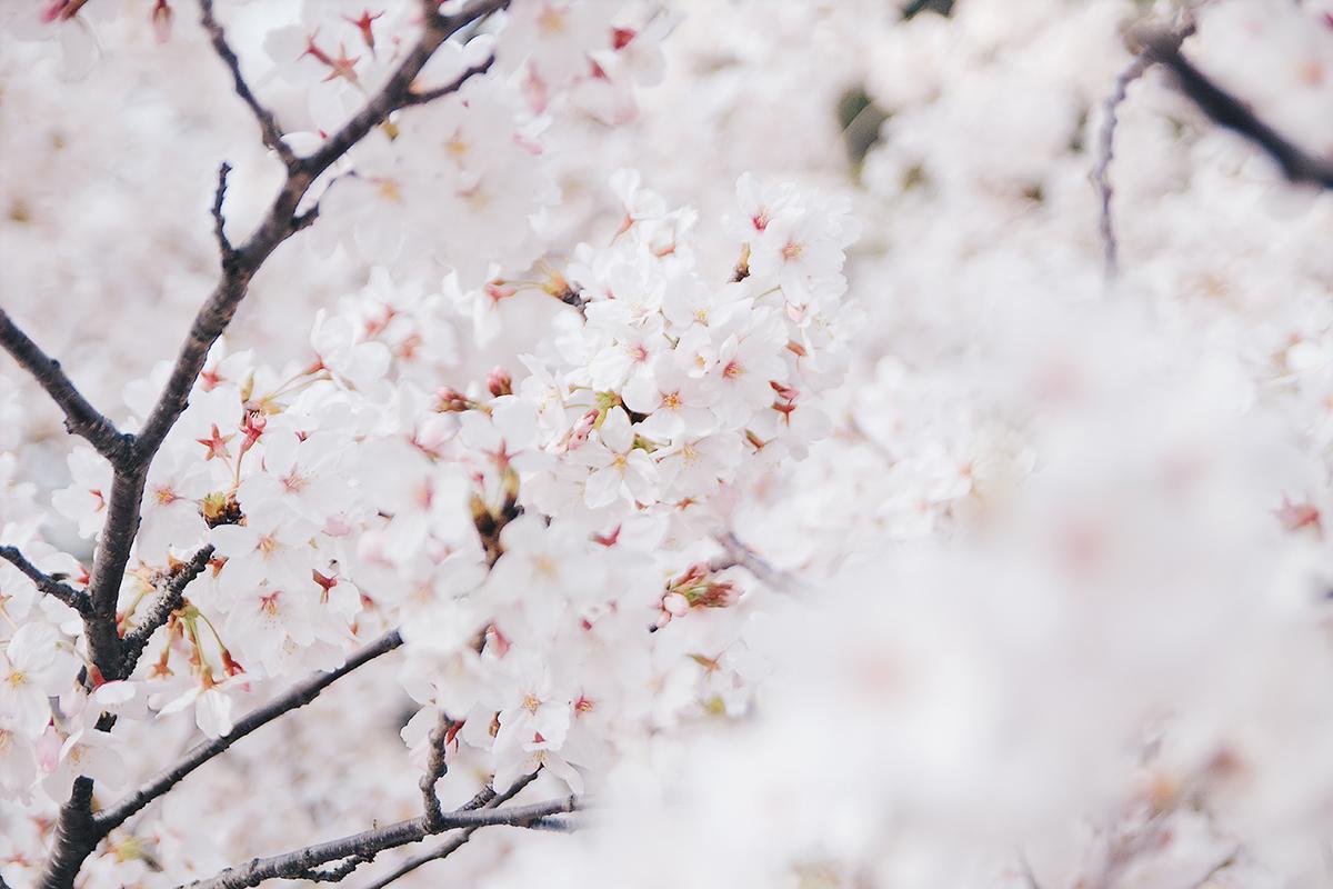 夙川の桜アップ4