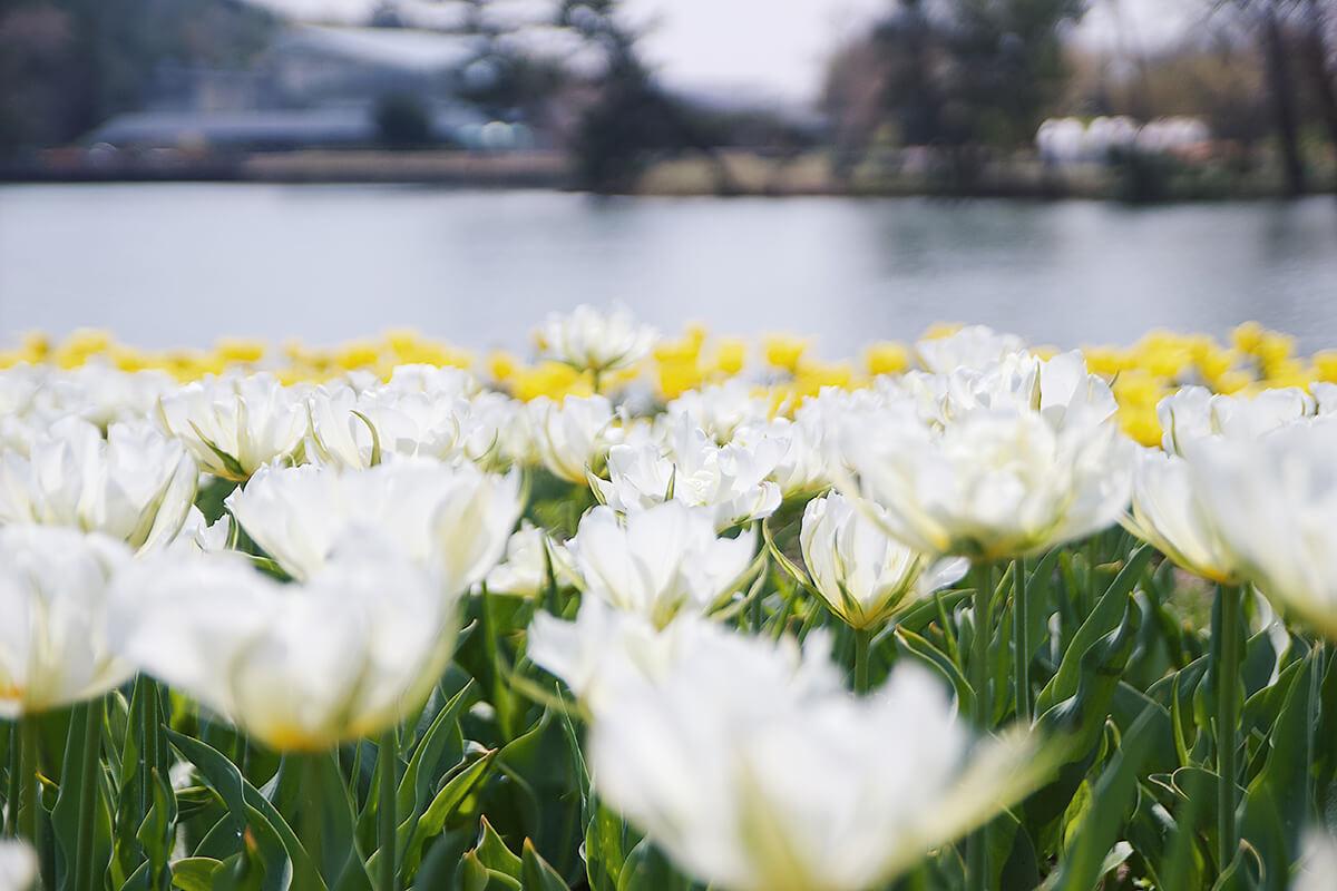 兵庫県立フラワーセンターのチューリップ10