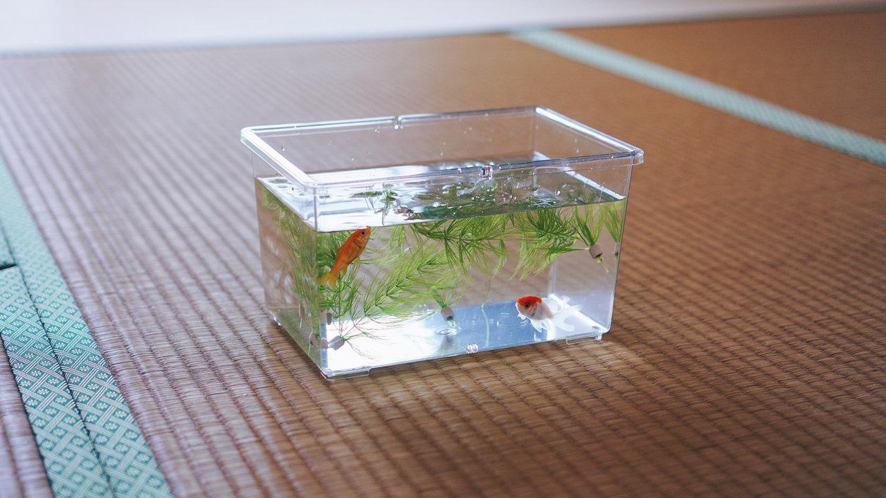 小さい水槽で金魚を飼う