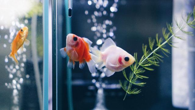 福だるま金魚の写真