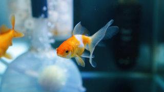オランダ金魚のアップ写真