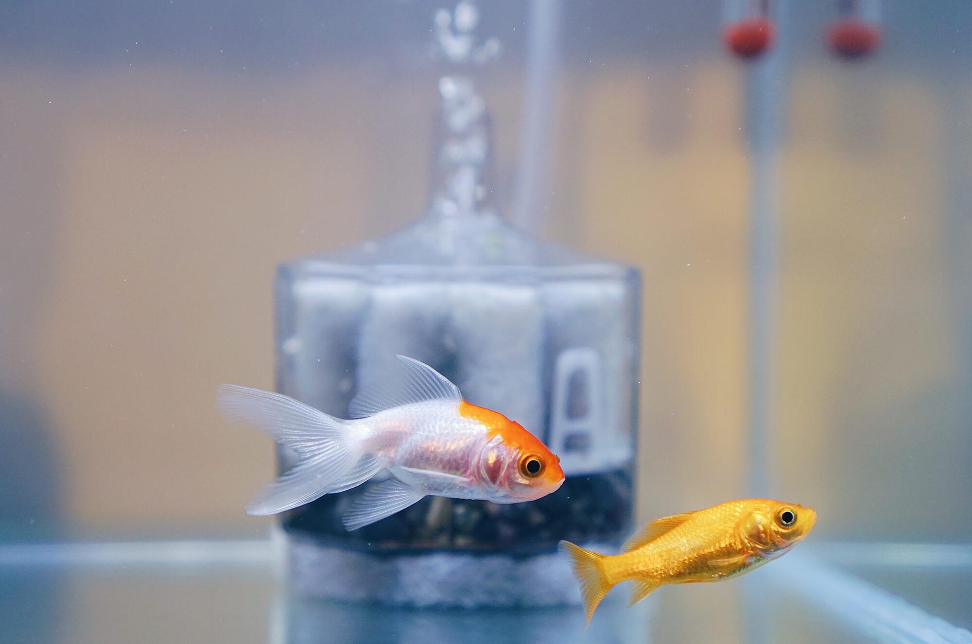 金魚水槽のイクラとアカリ