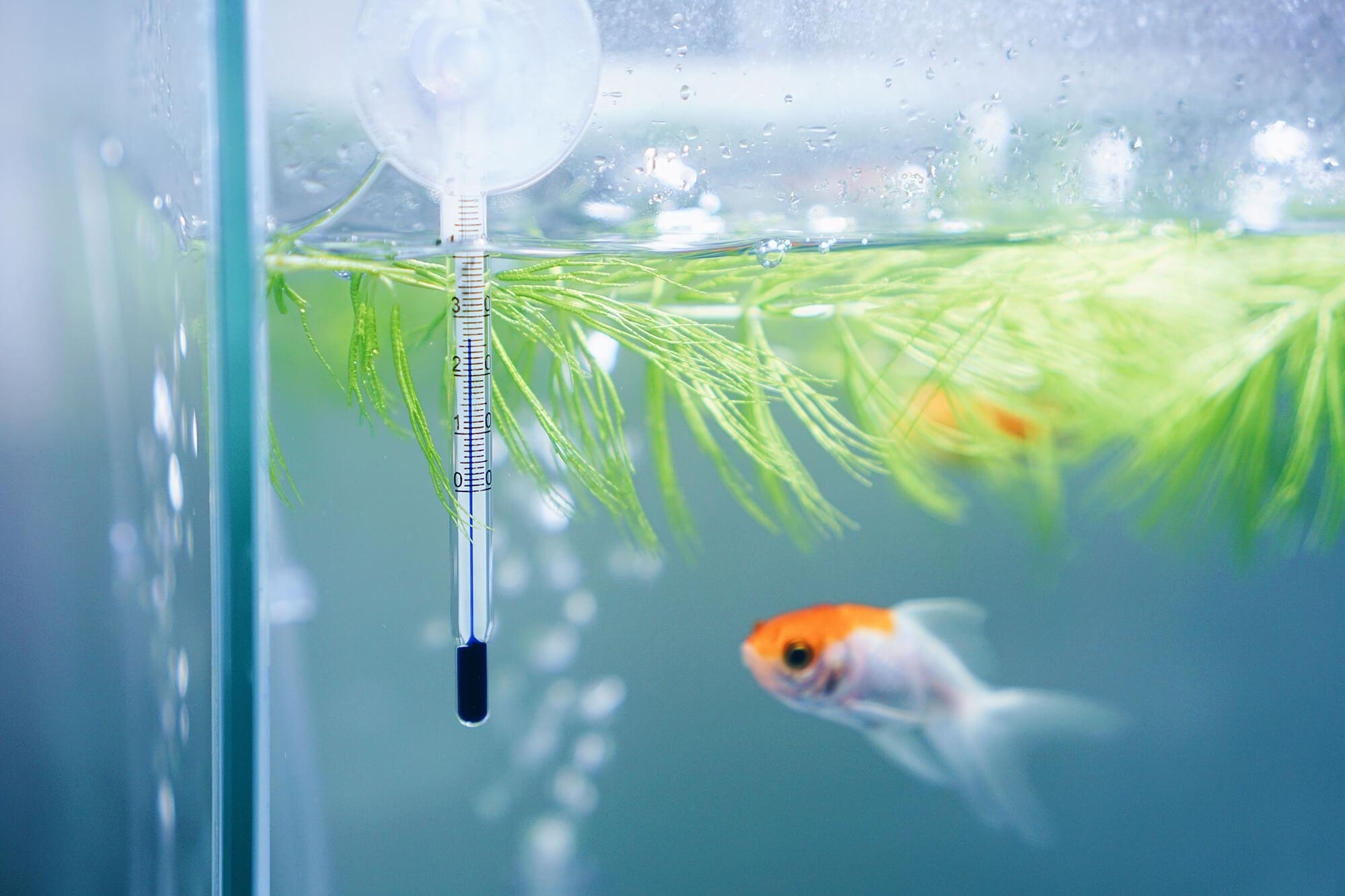 水草と金魚のオランダ