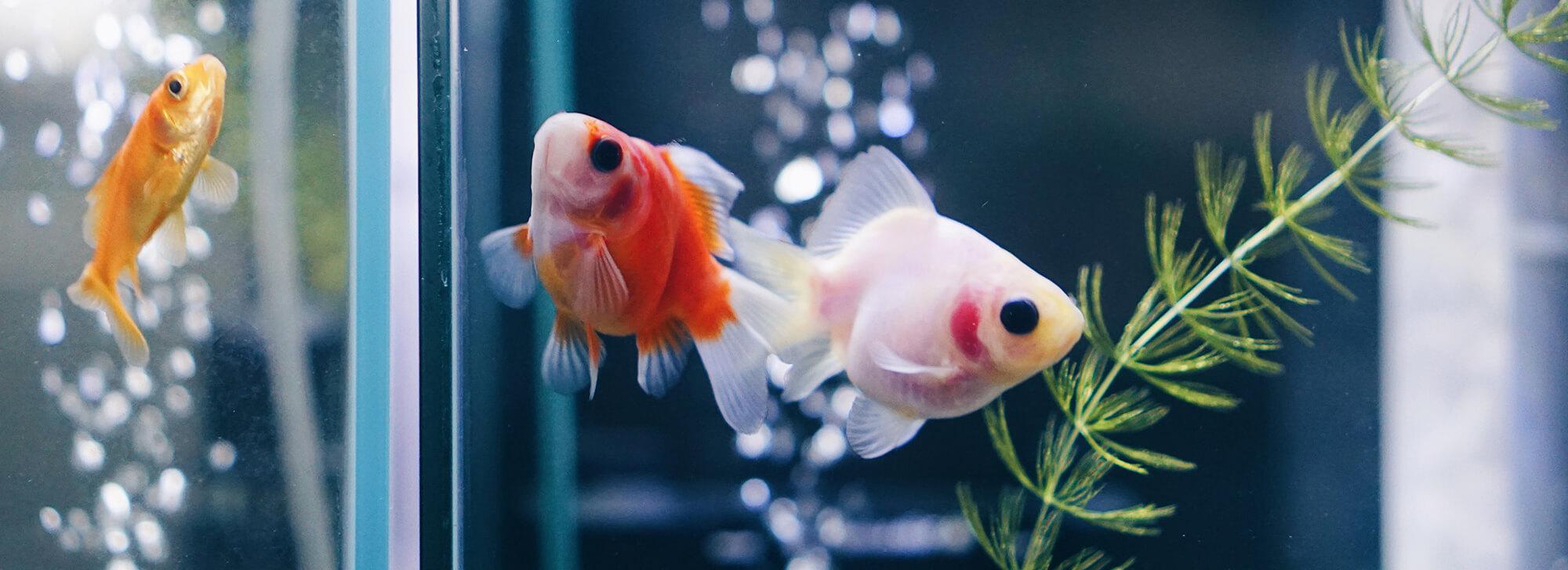 カテゴリー用金魚の写真